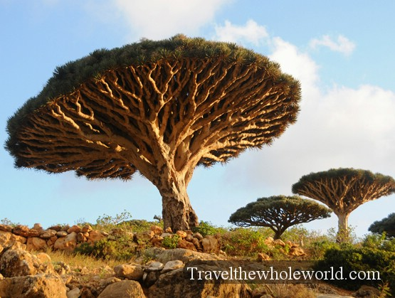 Socotra-Dragon-Tree